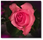 Selbstliebe, Rose, Uli Feichtinger