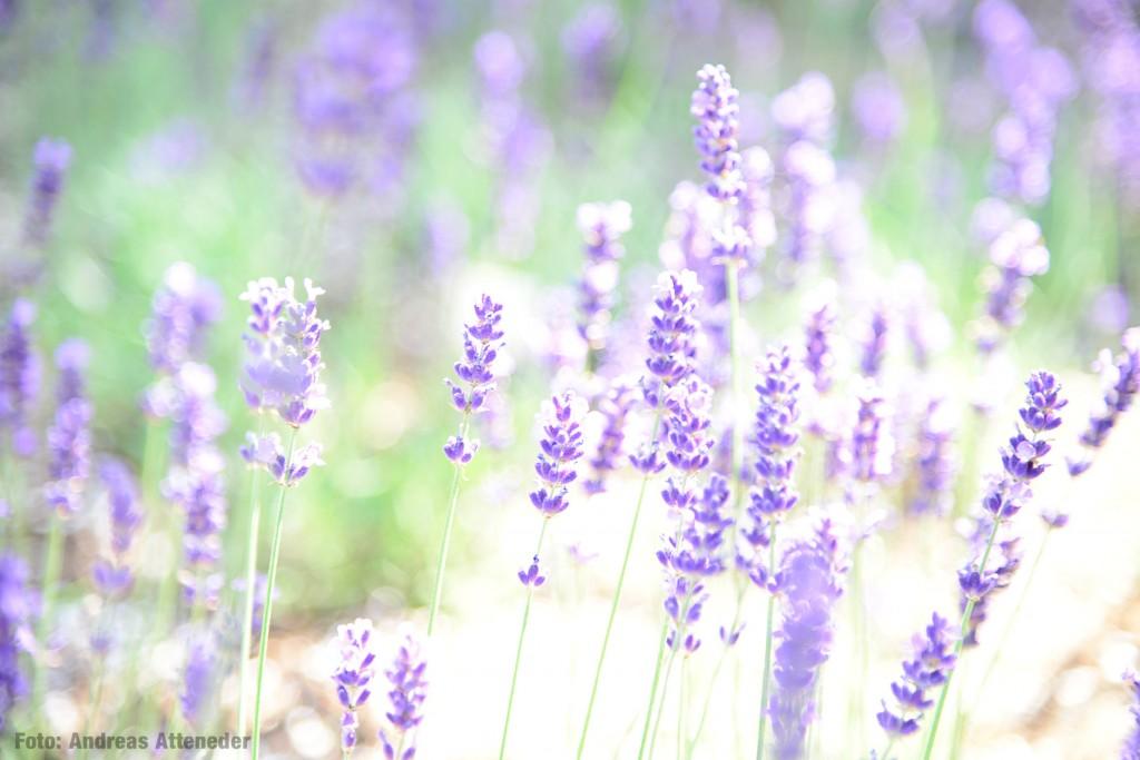 Lavendel, Powernapping, Gesundheit